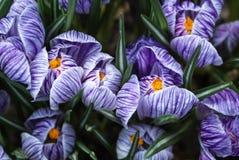 Close-up de açafrões violetas e brancos vibrantes luxúrias Fotografia de Stock Royalty Free