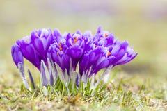 Close-up de açafrões violetas de florescência maravilhosos no vale das montanhas Carpathian na manhã brilhante da mola Proteção d Fotografia de Stock Royalty Free
