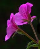 Close-up de algumas flores de um Pelargonium de suspensão Imagem de Stock Royalty Free