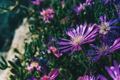 Close-up de algumas flores roxas do cooperi do delosperma fotos de stock royalty free