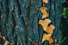 Close-up de algumas folhas secadas da hélice de hedera imagem de stock royalty free