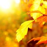 Close up de Autumn Foliage foto de stock