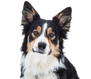 Close-up de border collie tricolor imagem de stock royalty free