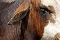 Close up de Bull de um olho e de uma orelha de touros Imagens de Stock