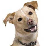 Close-up de cão misturado da raça, 9 meses velho Fotografia de Stock