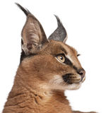 Close-up de Caracal, Caracal caracal Imagens de Stock Royalty Free