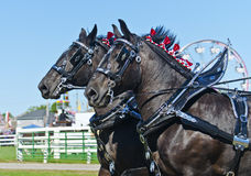 Close up de cavalos de esboço de Percheron no país justo Imagens de Stock