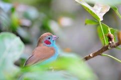 Close up de Cordon bleu vermelho-cheeked Imagem de Stock Royalty Free