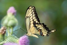 Close up de cresphontes gigantes de Swallowtail Papilio, Ontário fotos de stock