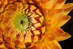 Close-up de Dahlia Flower alaranjada imagens de stock