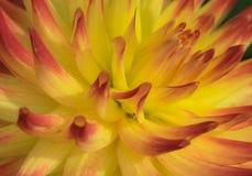 Close up de Dahlia Weston Spanish Dancer imagem de stock