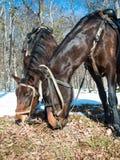 Close up de dois cavalos imagens de stock