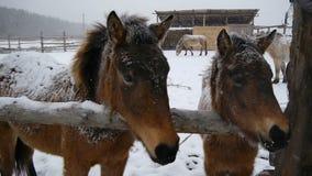 Close-up de dois cavalos Está nevando pesadamente Os cavalos são pressionados entre si vídeos de arquivo