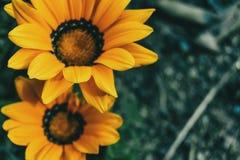Close-up de duas flores amarelas de rigens do gazania no selvagem foto de stock royalty free