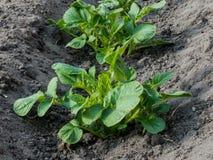 Close up de duas plantas de batata orgânicas imagem de stock royalty free