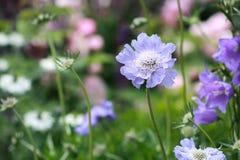Close up de flores azuis imagem de stock