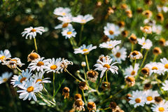 Close up de flores bonitas da margarida branca Imagens de Stock Royalty Free