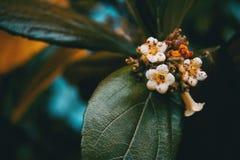 Close-up de flores brancas pequenas do tinus do viburnum fotos de stock