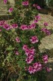 Close-up de flores coloridas em um arbusto grosso, em um dia ensolarado em Caceres foto de stock