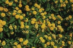 Close-up de flores coloridas em um arbusto grosso, em um dia ensolarado em Caceres foto de stock royalty free