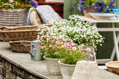 Close up de flores cor-de-rosa brancas bonitas, margaridas Imagens de Stock Royalty Free