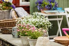 Close up de flores cor-de-rosa brancas bonitas, margaridas Fotografia de Stock