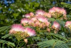 Close up de flores cor-de-rosa brilhantes de uma árvore de seda persa foto de stock