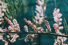 Close-up de flores cor-de-rosa e dos botões do tamarix chinensis imagens de stock