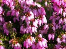Close up de flores cor-de-rosa em uma planta da urze fotos de stock royalty free