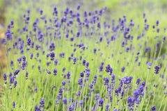 Close up de flores da alfazema Imagens de Stock Royalty Free