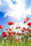 Close-up de flores das papoilas Foto de Stock Royalty Free