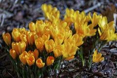 Close-up de flores do açafrão Fundo macro das hortaliças com açafrões amarelos Profundidade de campo rasa Fotografia de Stock Royalty Free
