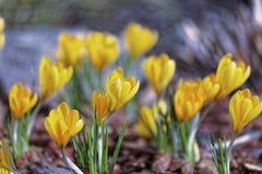 Close-up de flores do açafrão Fundo macro das hortaliças com açafrões amarelos Profundidade de campo rasa Imagens de Stock Royalty Free
