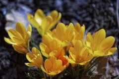 Close-up de flores do açafrão Fundo macro das hortaliças com açafrões amarelos Profundidade de campo rasa Imagem de Stock Royalty Free