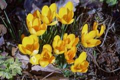Close-up de flores do açafrão Fundo macro das hortaliças com açafrões amarelos Profundidade de campo rasa Fotografia de Stock