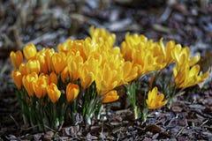 Close-up de flores do açafrão Fundo macro das hortaliças com açafrões amarelos Profundidade de campo rasa Foto de Stock