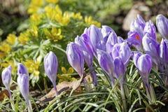 Close-up de flores do açafrão Fundo macro das hortaliças com açafrões violetas Profundidade de campo rasa Fotografia de Stock