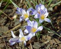 Close-up de flores do açafrão Fundo macro das hortaliças com açafrões violetas Profundidade de campo rasa Imagem de Stock Royalty Free