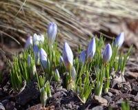 Close-up de flores do açafrão Fundo macro das hortaliças com açafrões violetas Profundidade de campo rasa Foto de Stock Royalty Free