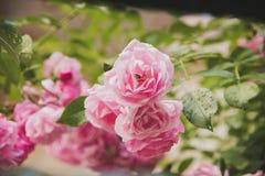 Close up de flores do arbusto cor-de-rosa no jardim Imagem de Stock