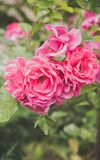 Close up de flores do arbusto cor-de-rosa no jardim Imagem de Stock Royalty Free
