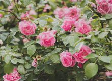 Close up de flores do arbusto cor-de-rosa no jardim Fotografia de Stock Royalty Free