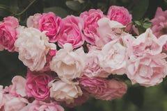 Close up de flores do arbusto cor-de-rosa no jardim Imagens de Stock Royalty Free