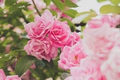 Close up de flores do arbusto cor-de-rosa no jardim Fotos de Stock