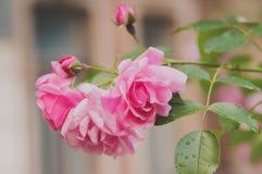 Close up de flores do arbusto cor-de-rosa no jardim Imagens de Stock
