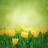 Close up de flores frescas da tulipa Imagens de Stock Royalty Free