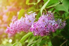 Close up de flores lilás cor-de-rosa na flor - o filtro macio aplicou-se Imagens de Stock Royalty Free