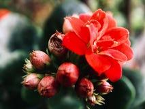 Close-up de flores vermelhas brilhantes contra o fundo borrado fotografia de stock