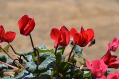 Close-up de flores vermelhas do cíclame, natureza, macro imagens de stock royalty free