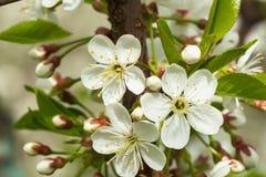 Close-up de florescência branco da cereja doce, fundo natural Conceito do fundo bonito da mola da natureza estações Imagens de Stock